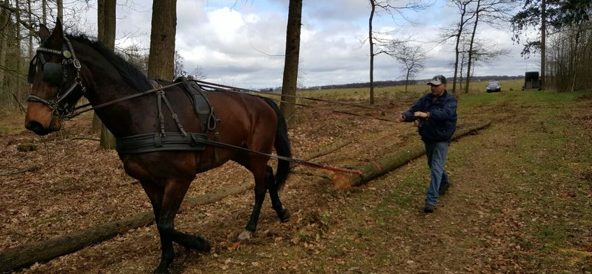 Uitslepen stamhout met paard